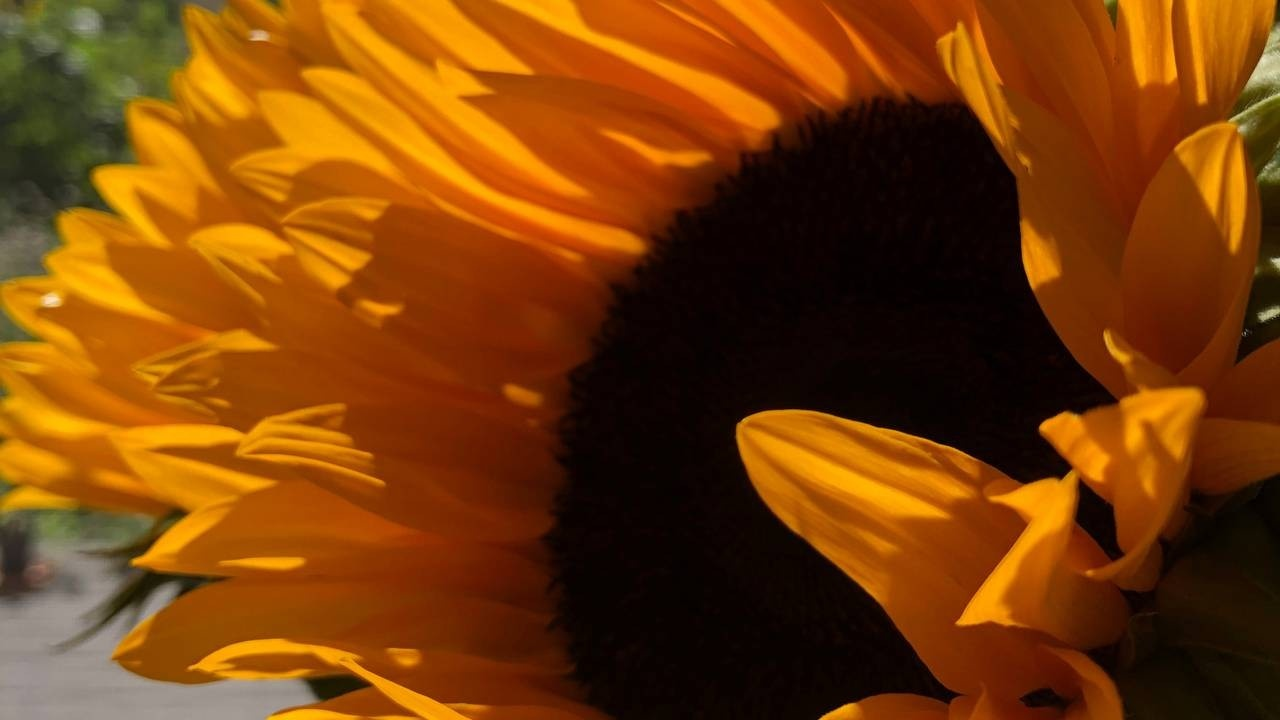 Sunflower at Late Summer