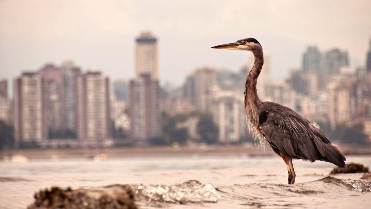 Large bird stood in shallow water with city buildings in the background