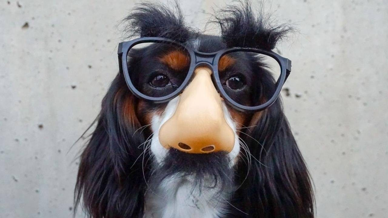 Dog testing out a pair novelty glasses