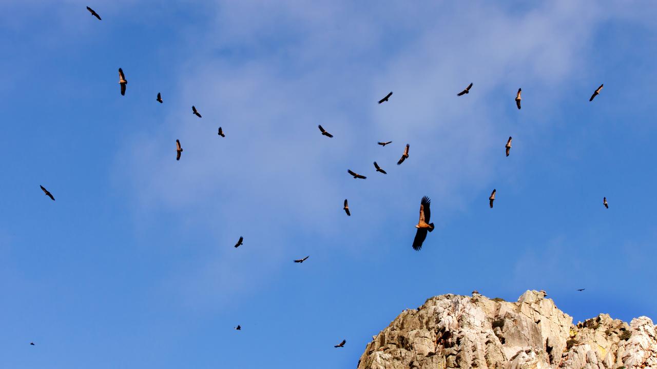 buzzards circling