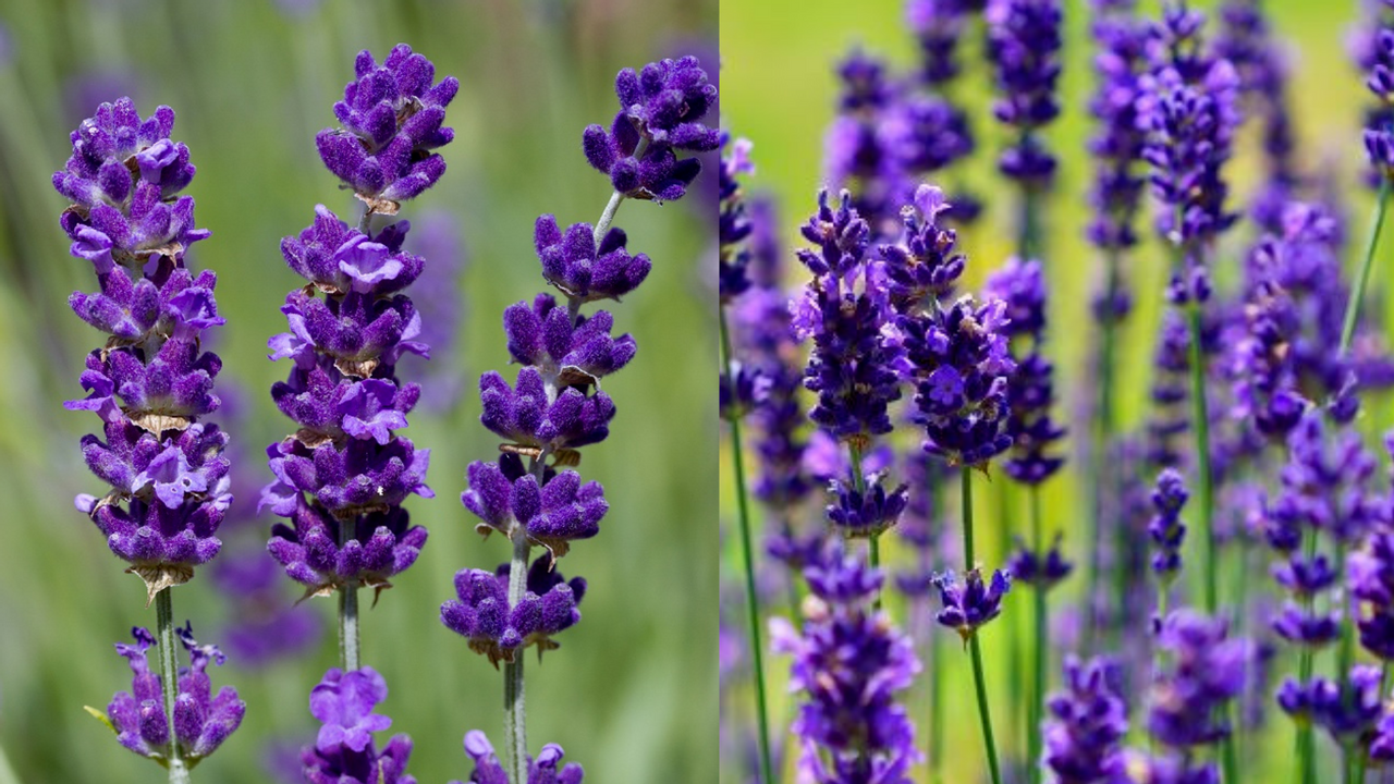 Two types of lavender