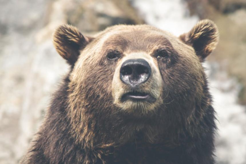 クマの顔のアップ