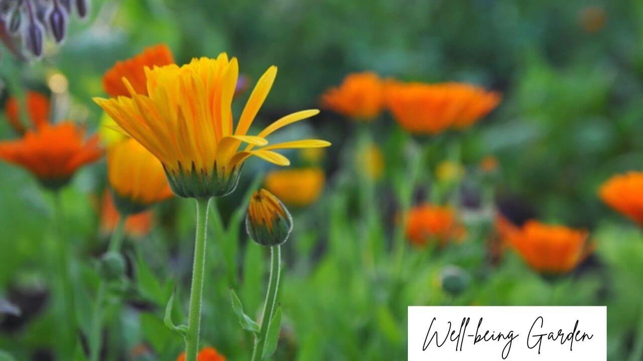 World Soil Day Calendula