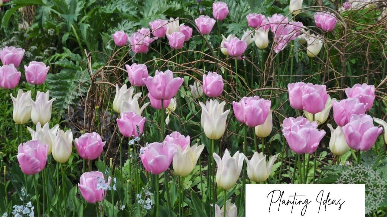 Combine tulips with perennials blog post