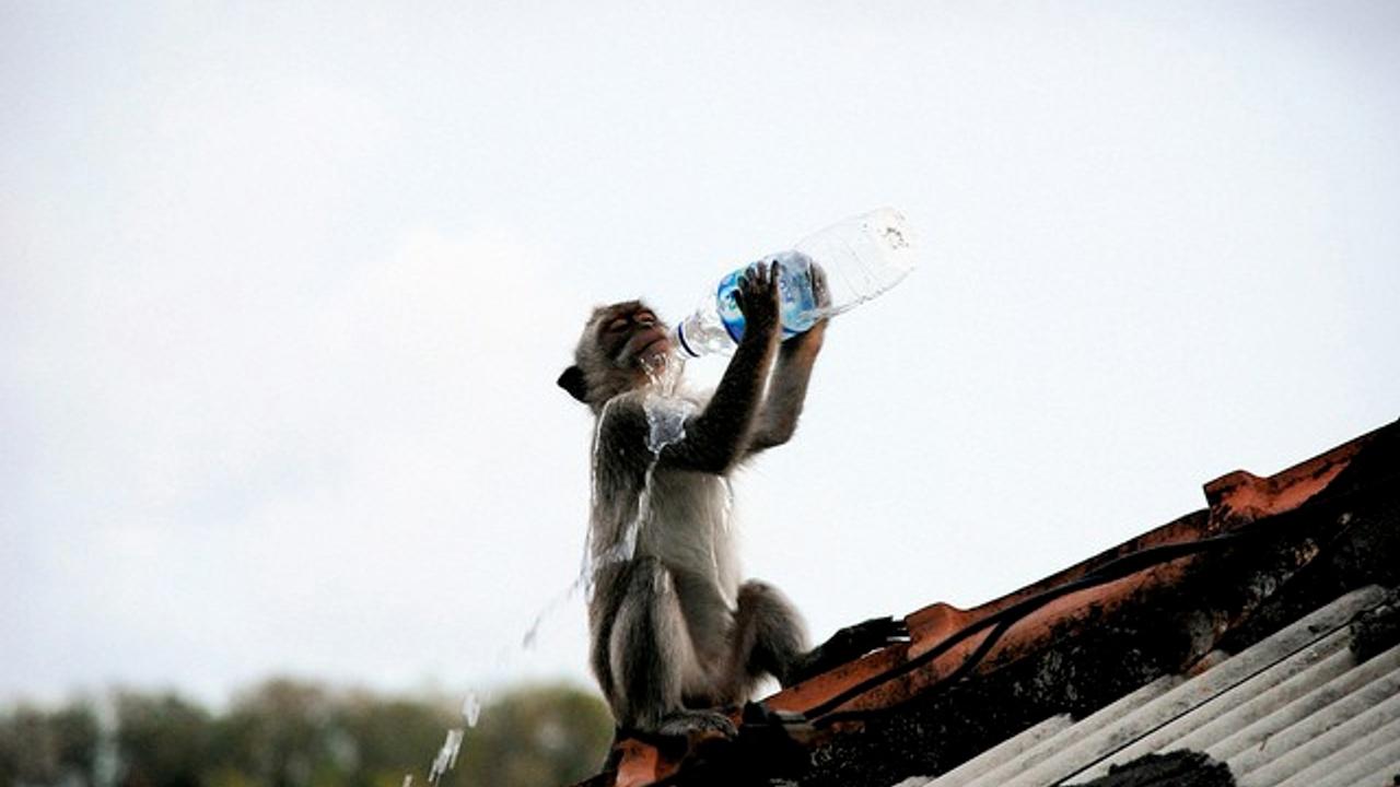 A monkey drinking bottled water.