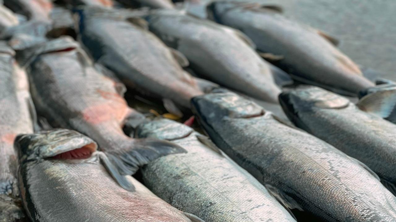 Salmon Fishing | Alaska | Rewilding