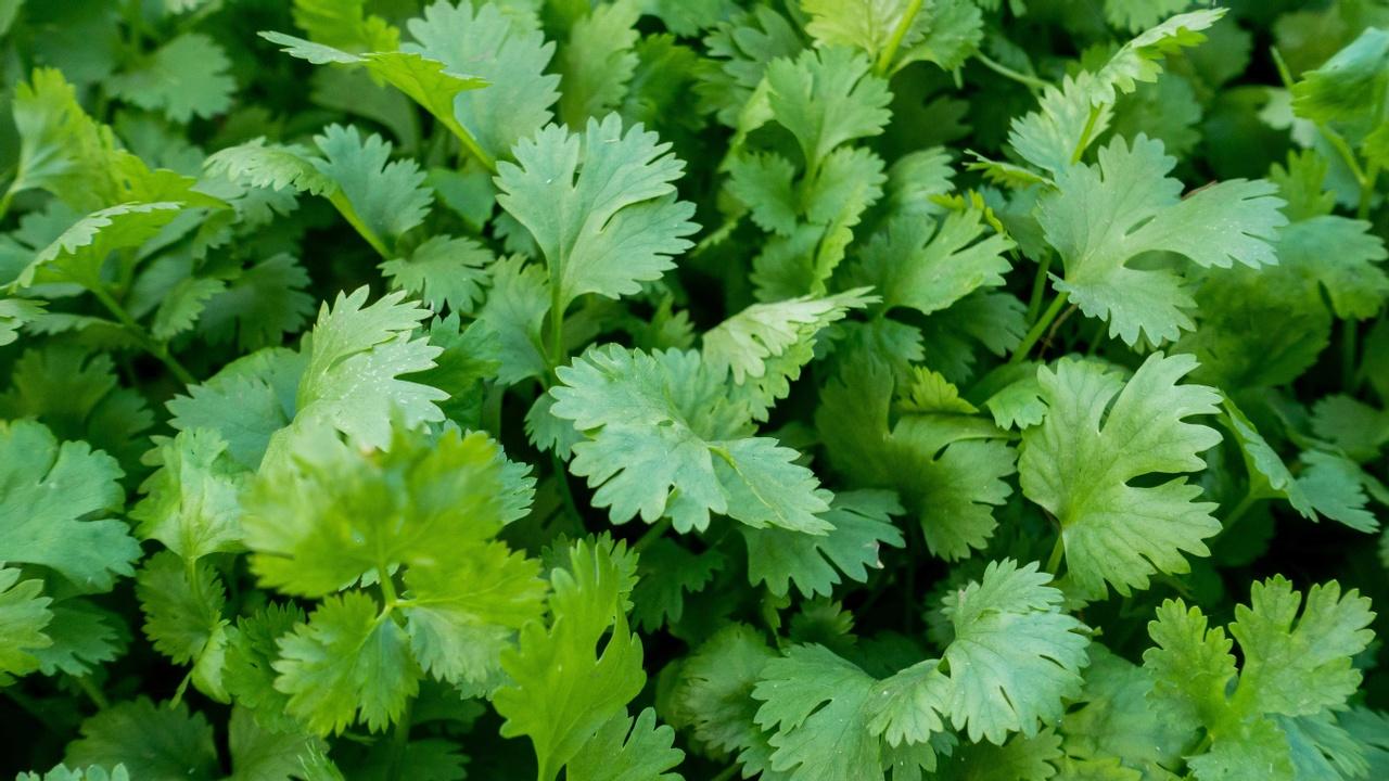 cilantro for heavy metal detoxification