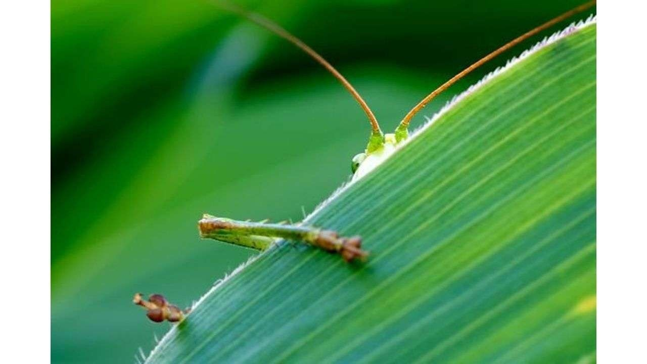 Grasshopper hiding behind a leaf