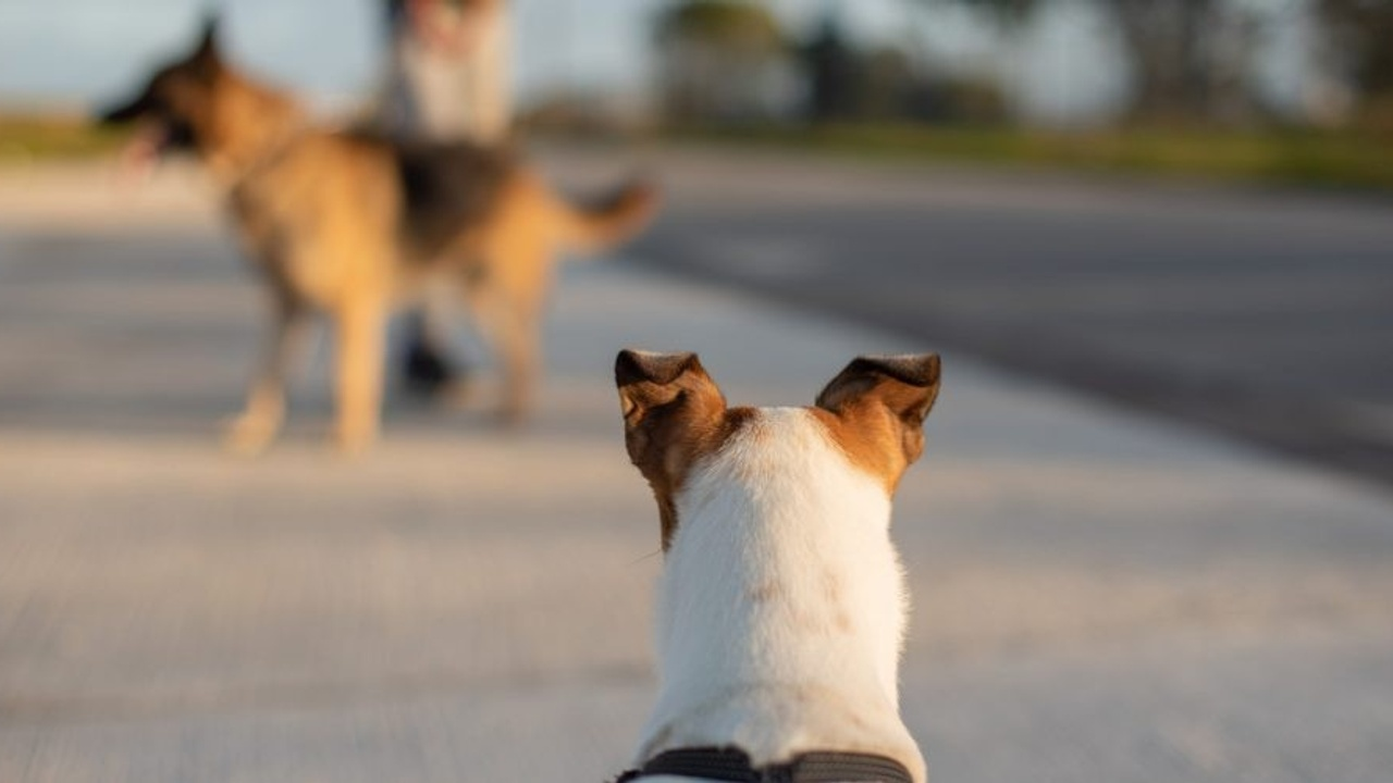 Dog staring at other dog on leash