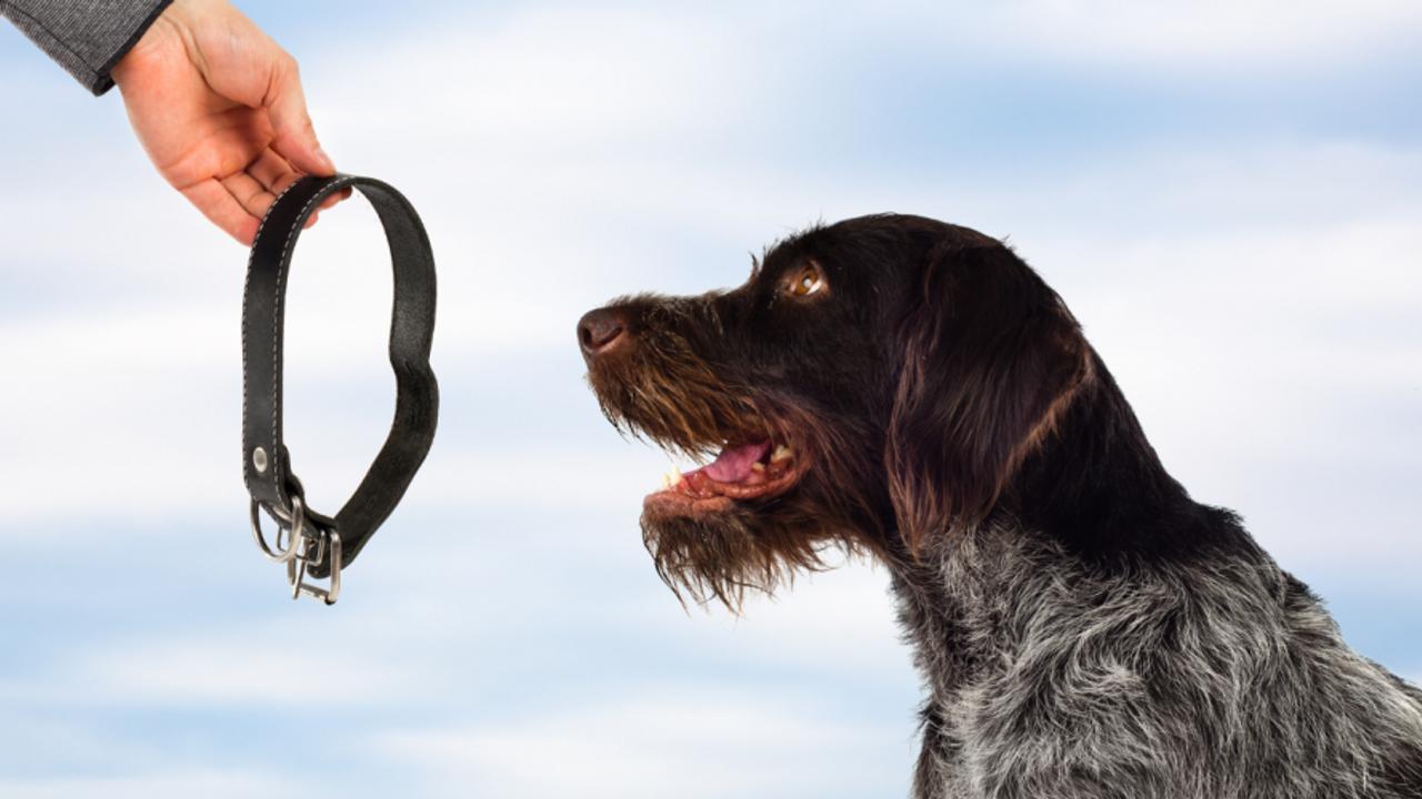 dog looking at collar