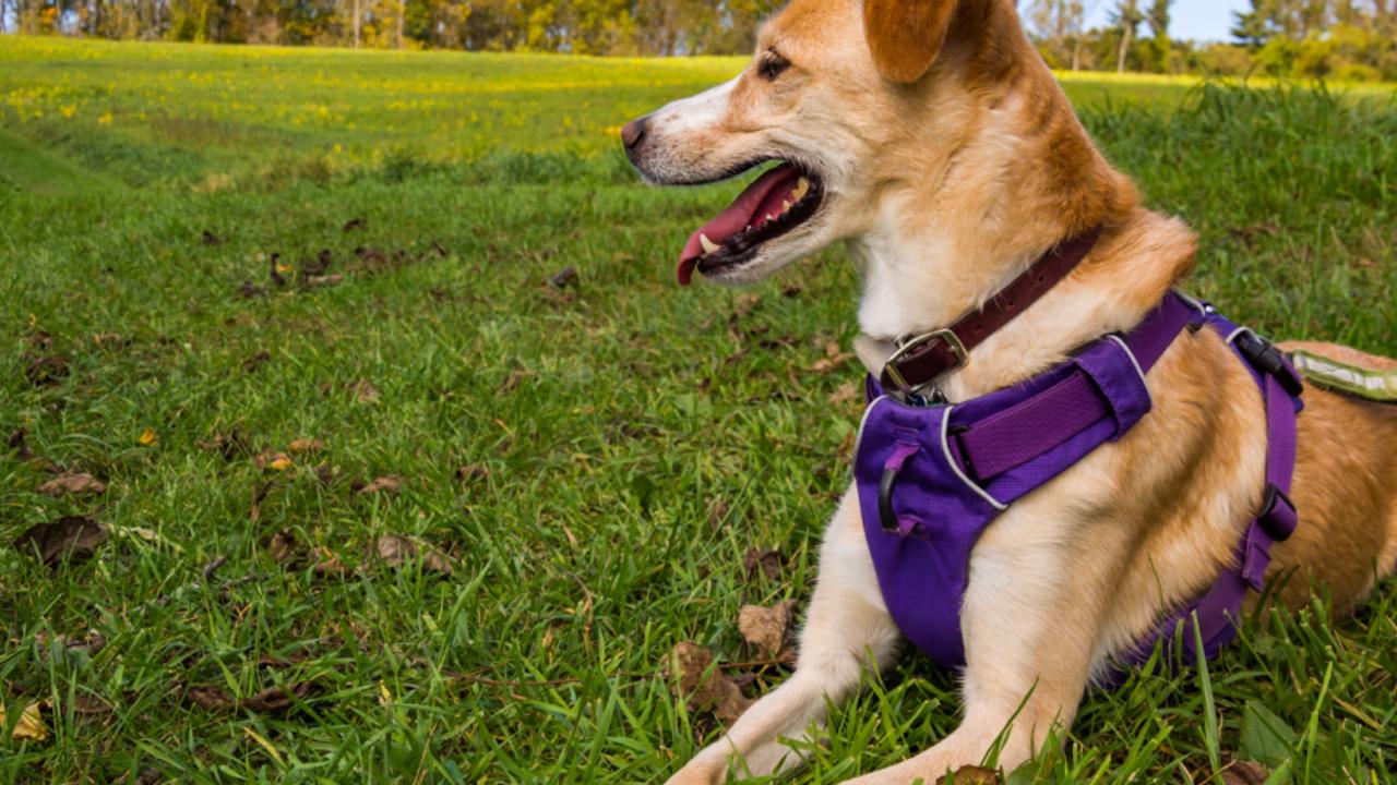 Dog wearing harness