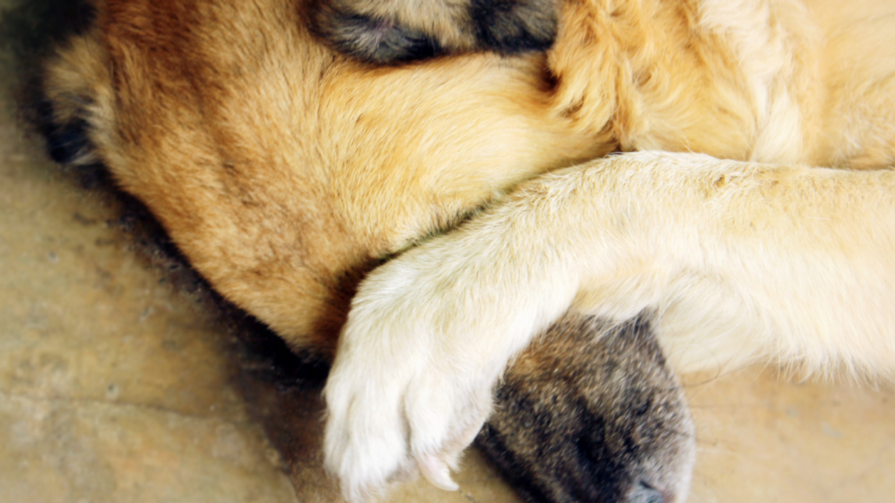 Dog with paw over face