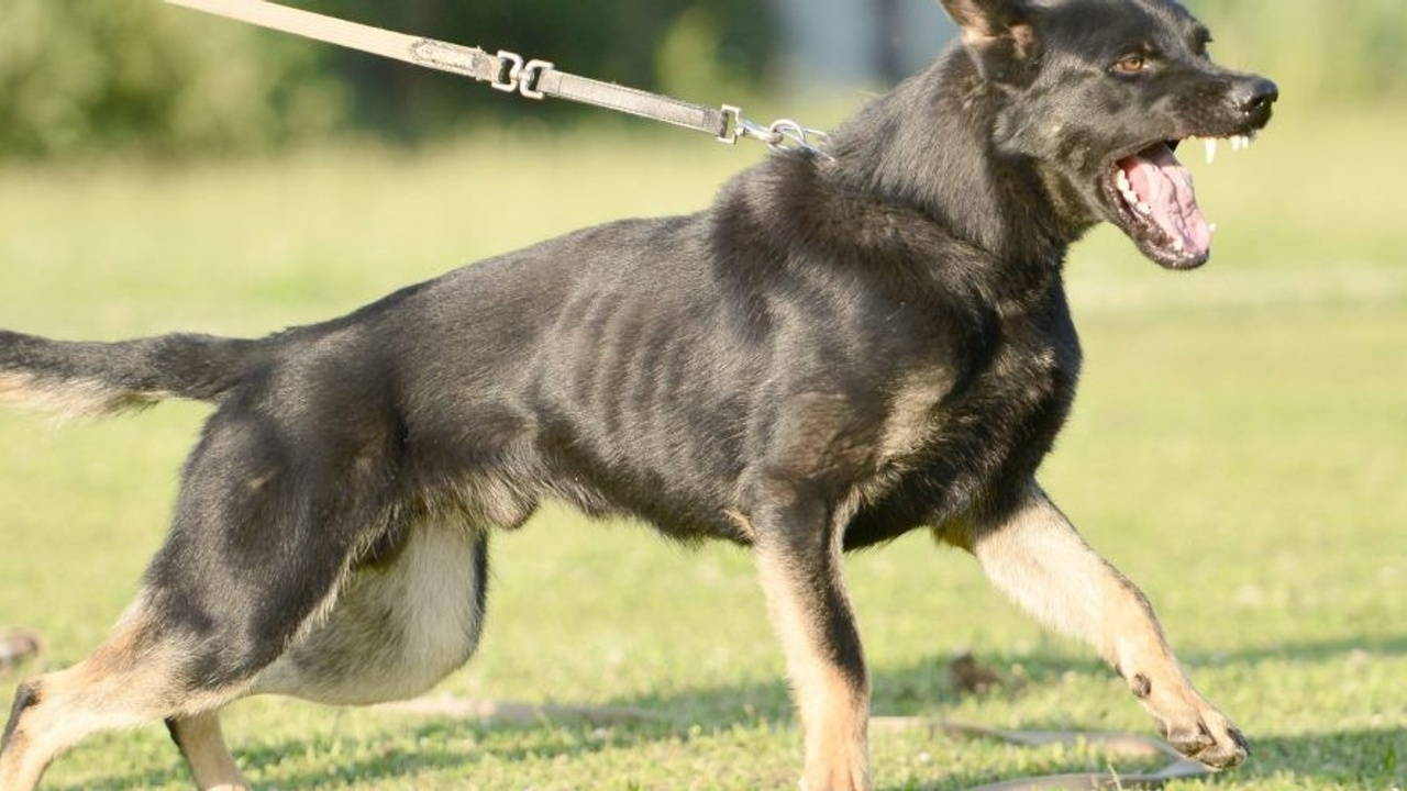 lunging reactive dog