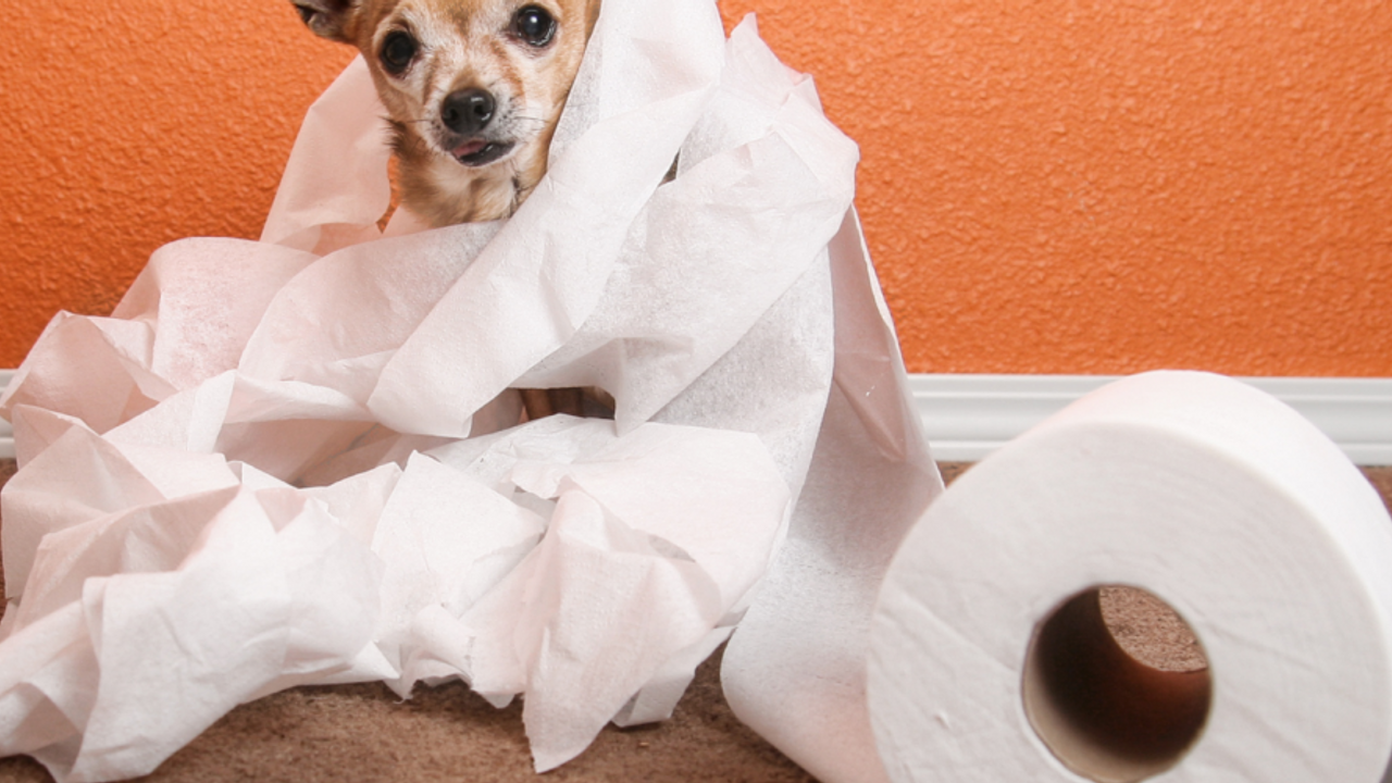 chihuahua potty indoors