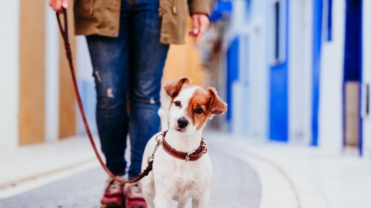 Cute terrier on leash