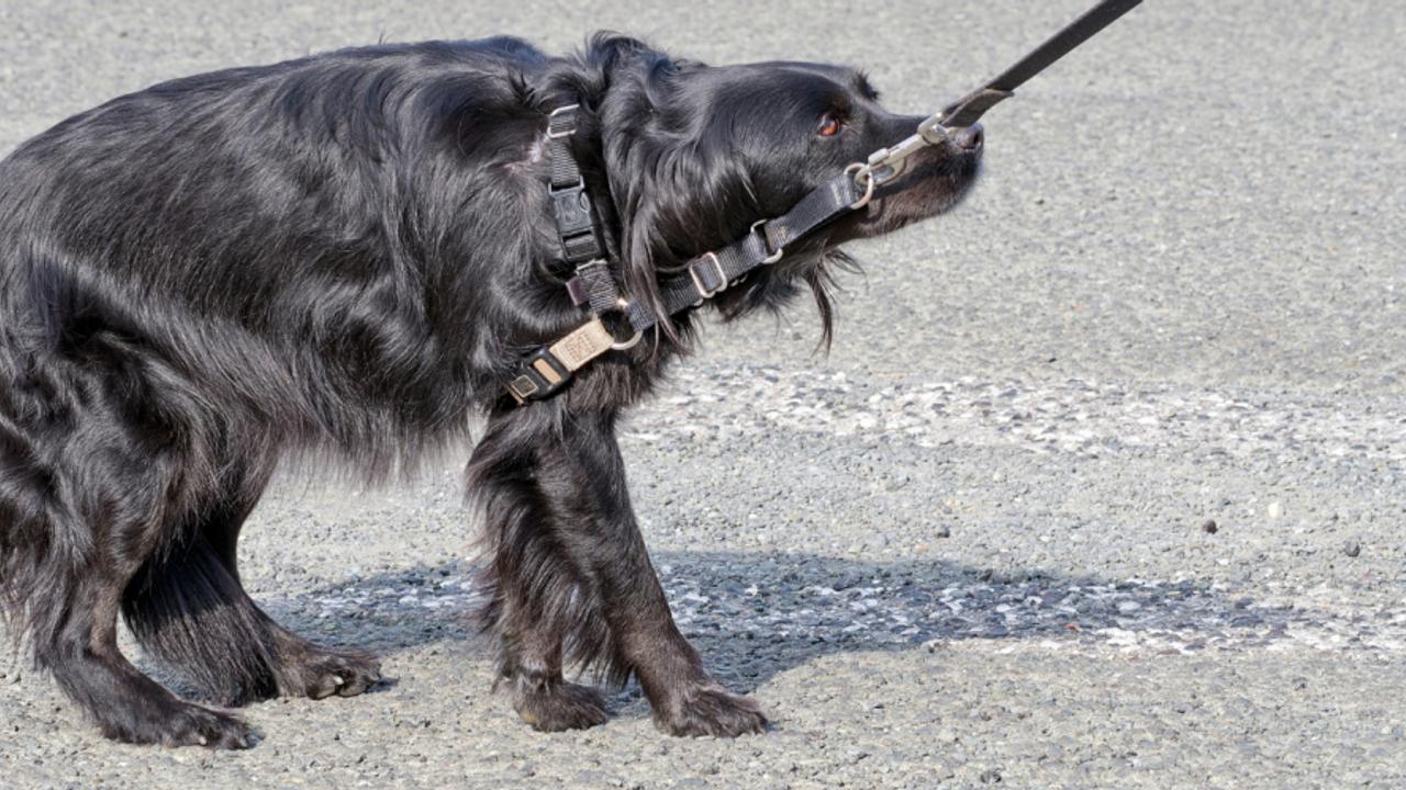 dog pulling back on leash scared