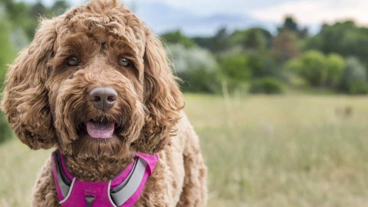 Doodle Harness Outdoors