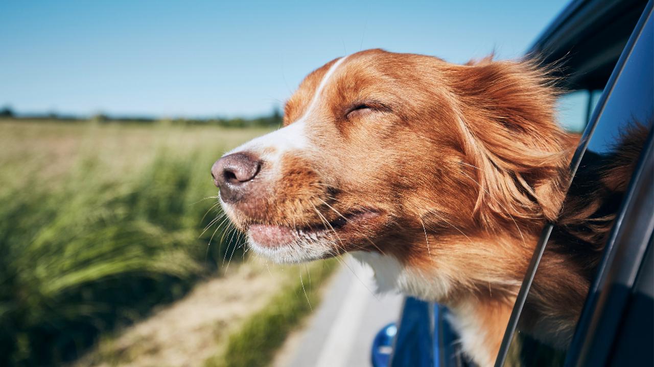 Dog sticking head out car window