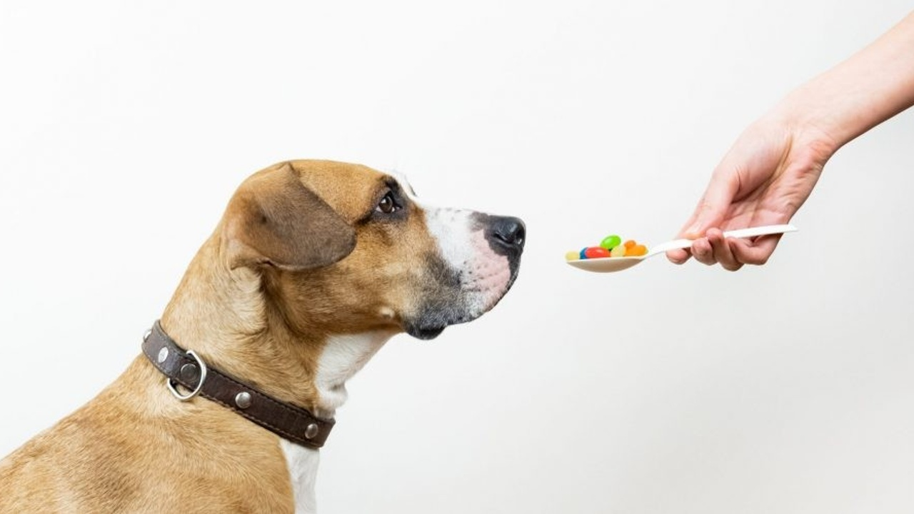 dog looking at spoon of meds