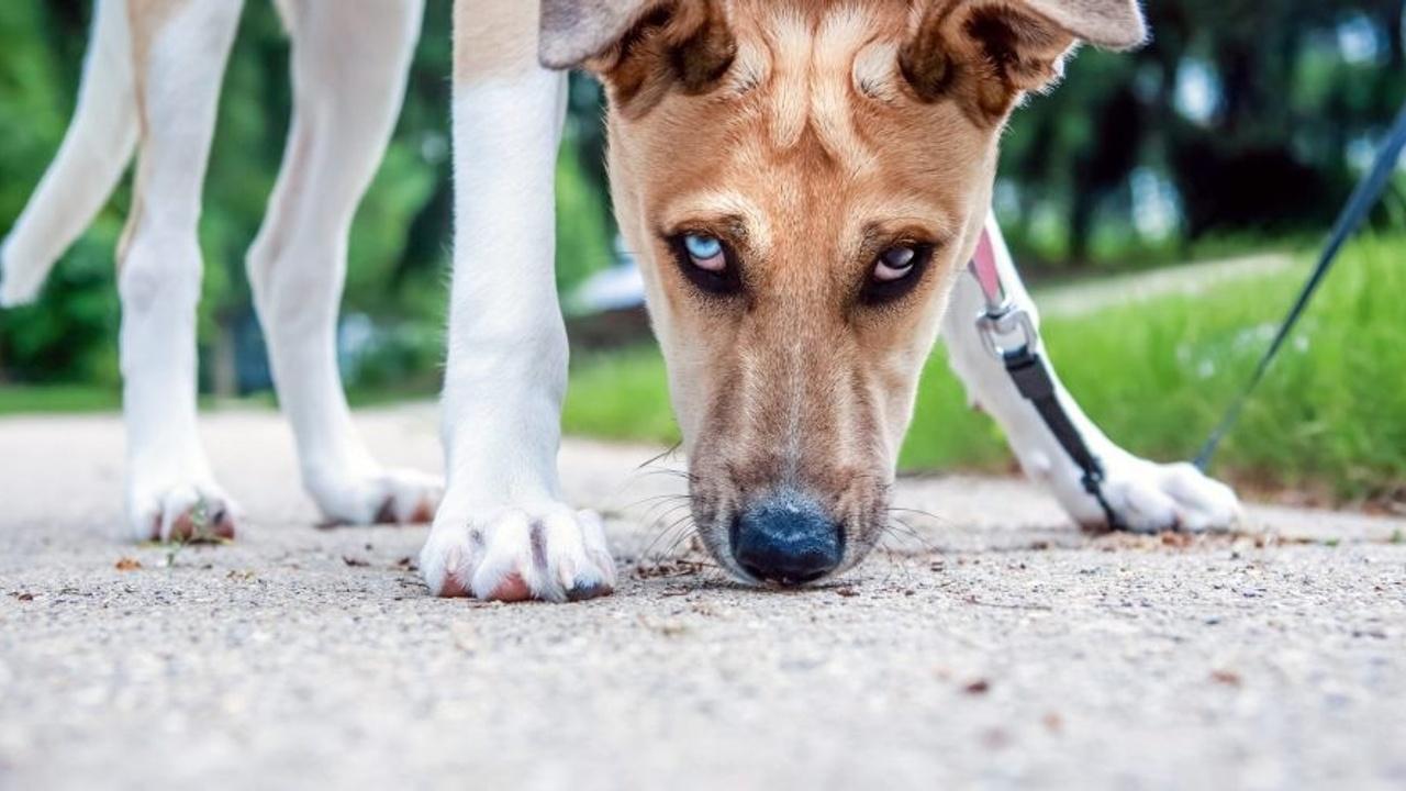 dog sniffing sidewalk