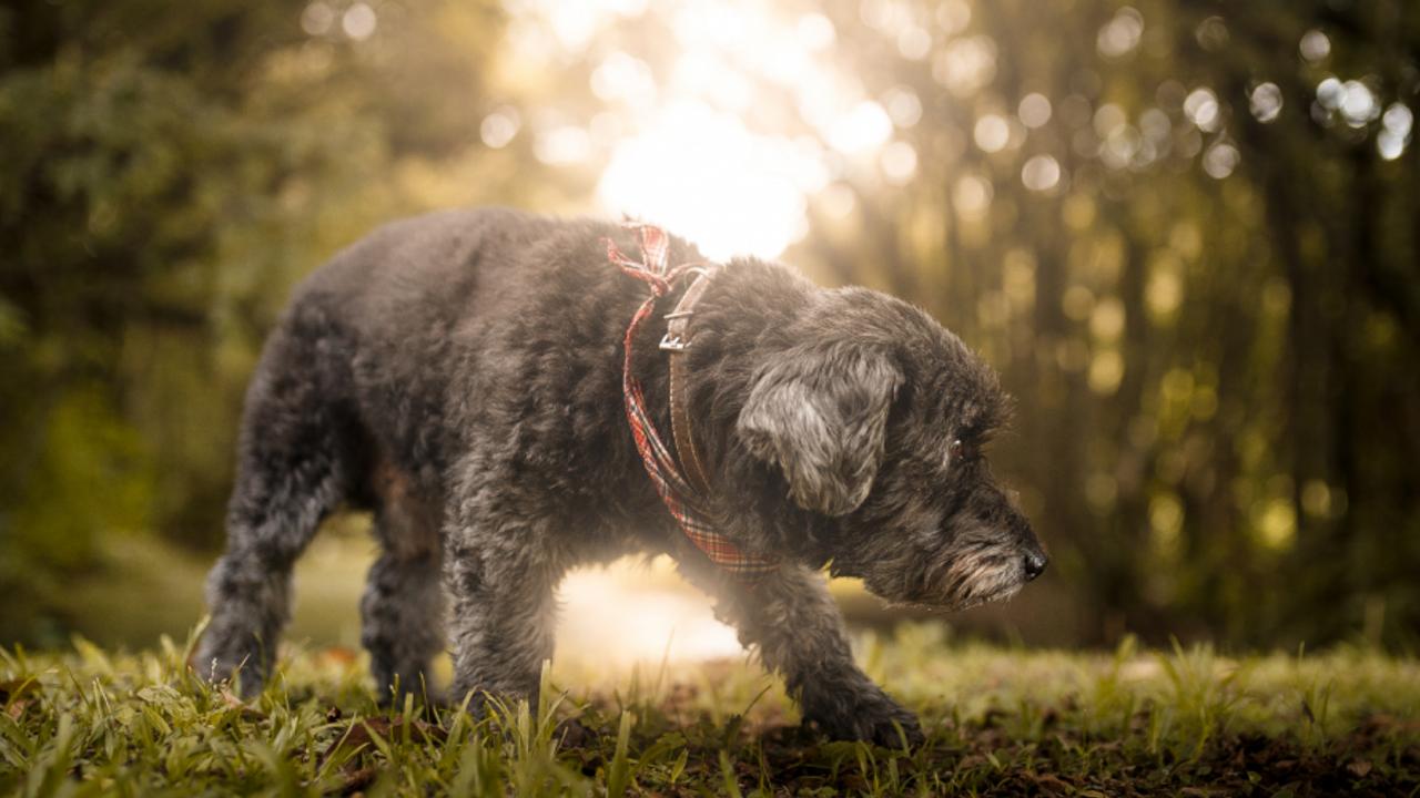 fearful dog on walk