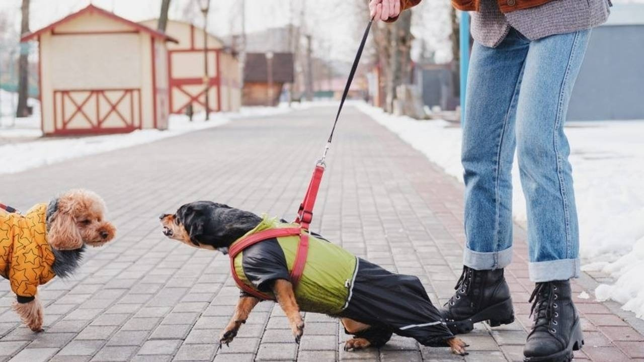 Small Dog Lunging on Leash