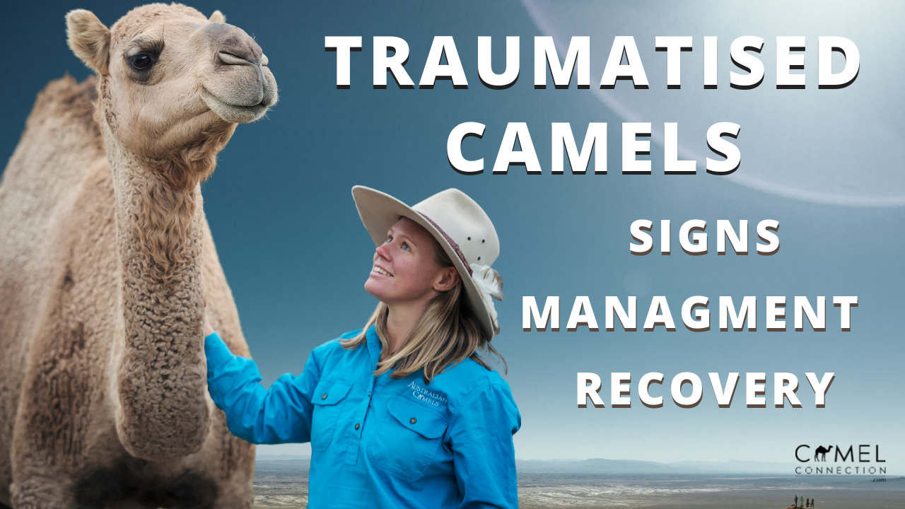 Signs of a Traumatised Camel