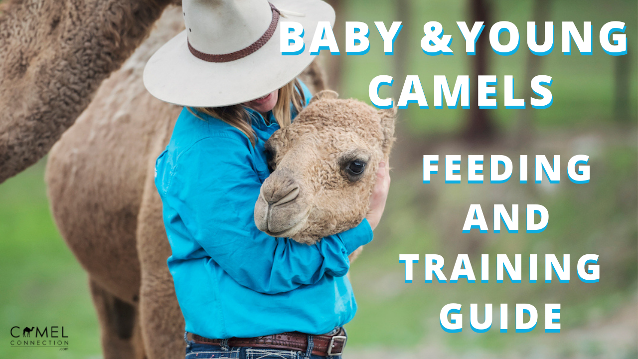 Baby & Young Camels: Training & Feeding Guide
