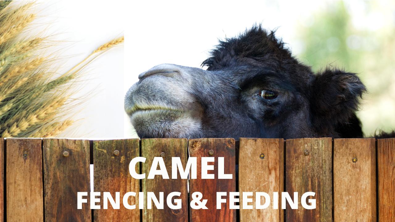 Camel Fencing & Feeding