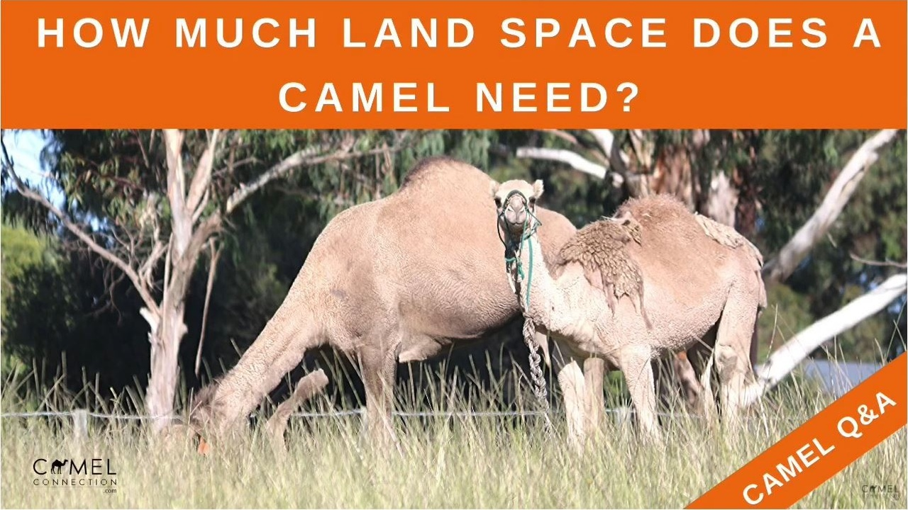 How Much Land Space Does A Camel Need [Camel Q&A]
