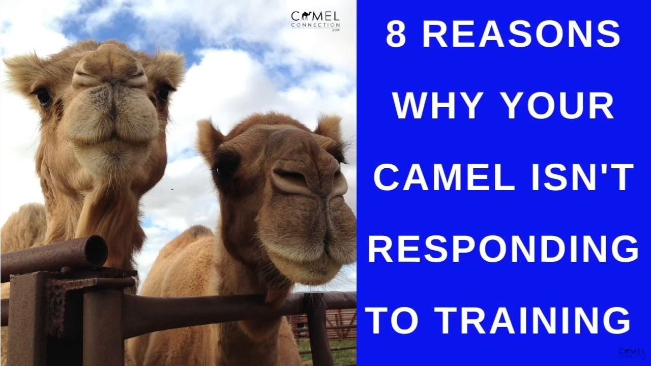 8 Reasons Why Your Camel Isn't Responding To Training