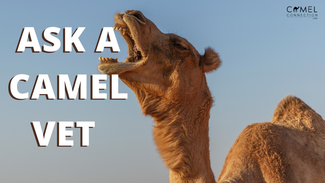 Ask a Camel Vet