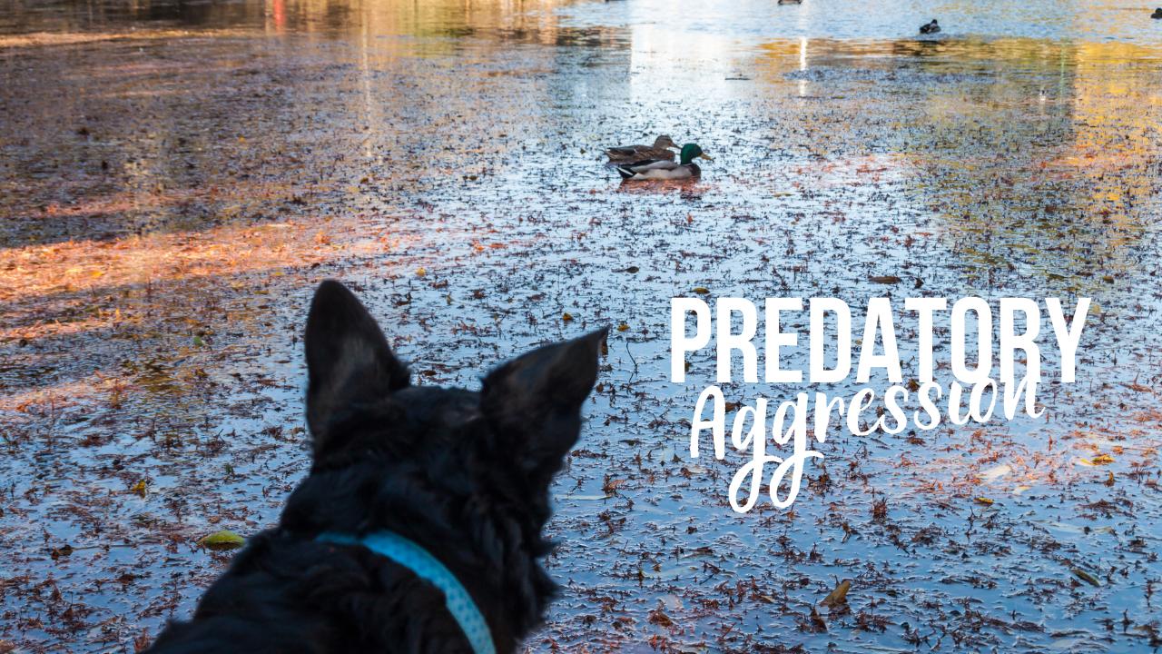 Metropawlitan Dog Training Predatory Aggression