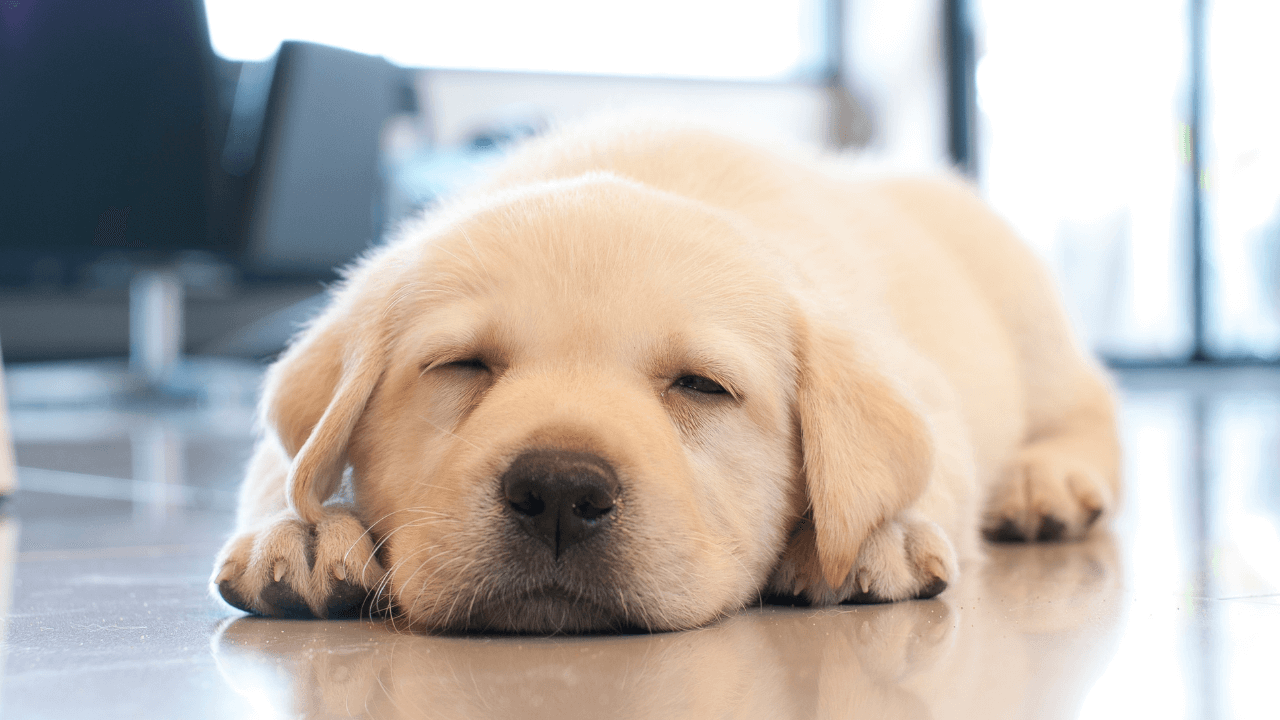 sleeping puppy be more puppy rest and recover