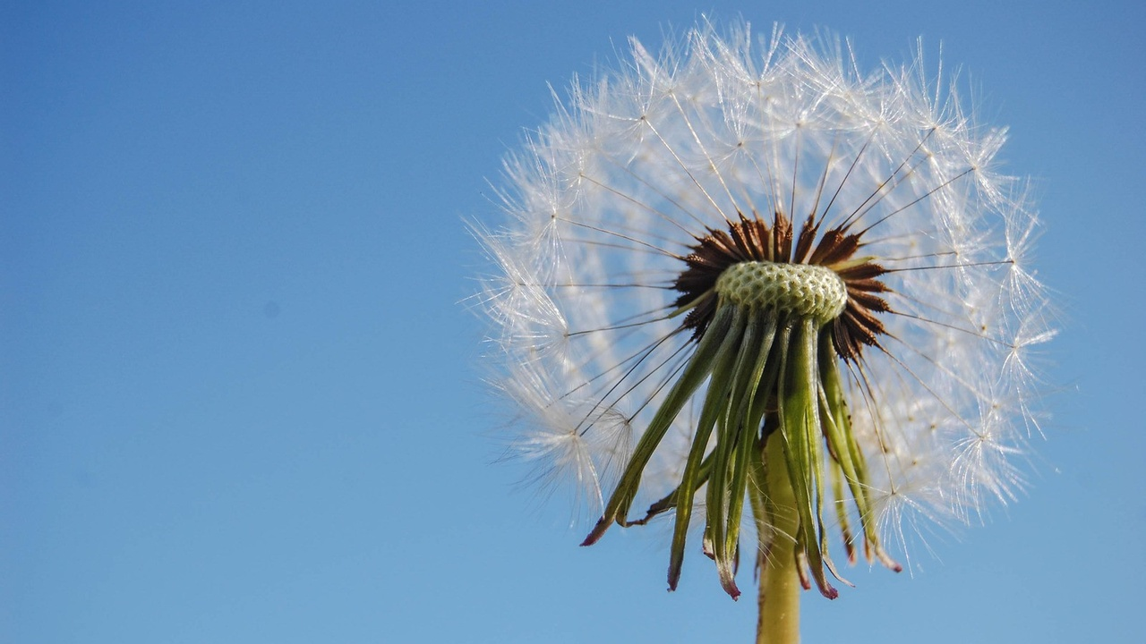 A dandelion against blue sky