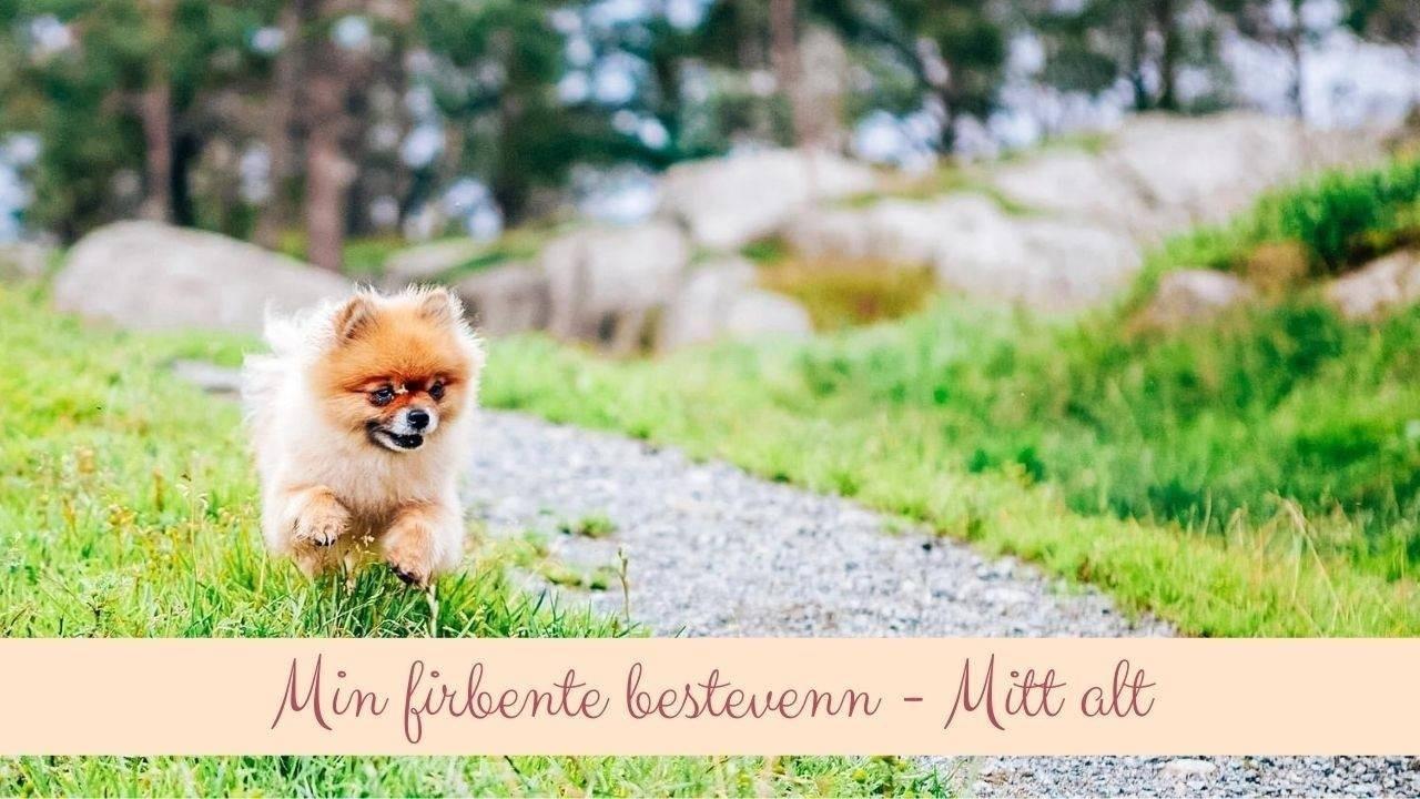 Chica i farten. En fantastisk hund av rasen pomeranian. Hun var min firbente bestevenn. Her er hun løpende i skogen. En pelskledd engel.