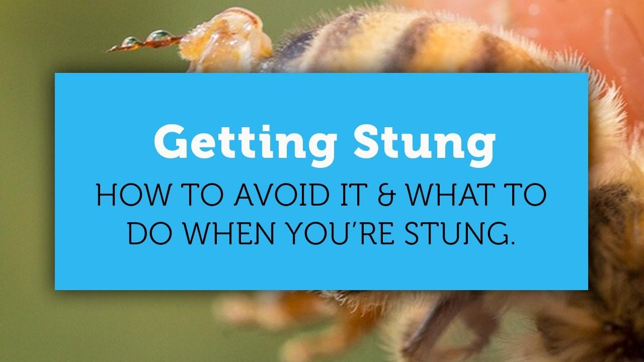 honey bee stinger with venom sac