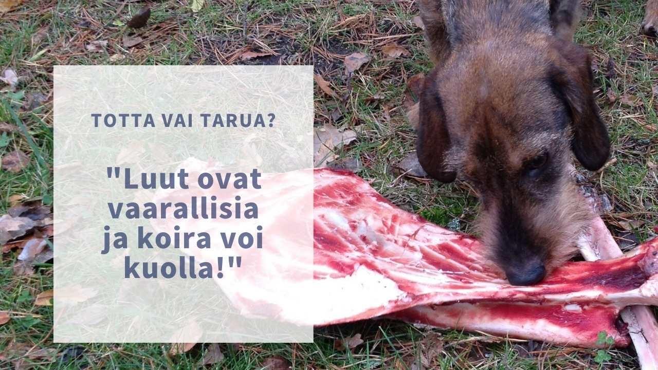 luut ovat vaarallisia koiralle