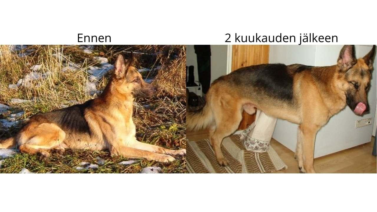 haiman vajaatoiminta koiralla