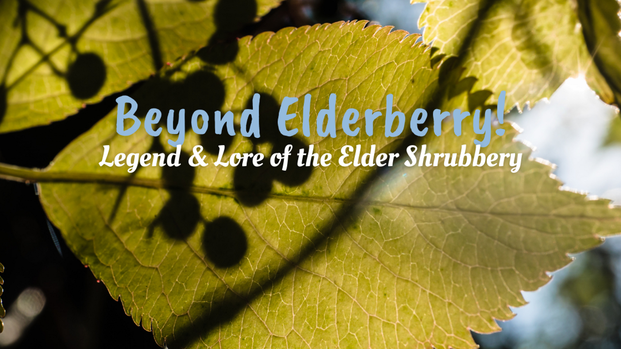 closeup of elder shrub with the words Beyond Elderberry Legend & Lore of the Elder Shrubbery