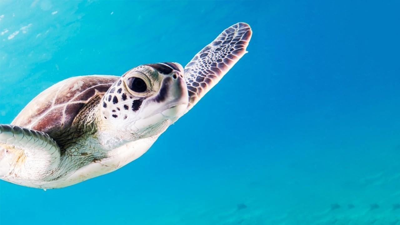 Sea Turtle, Tireless Turtle