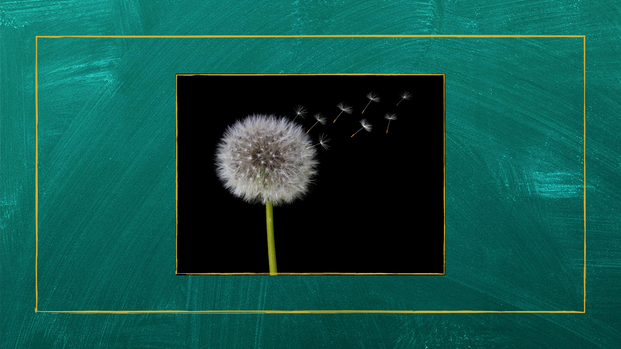 A dandelion gone to seed.