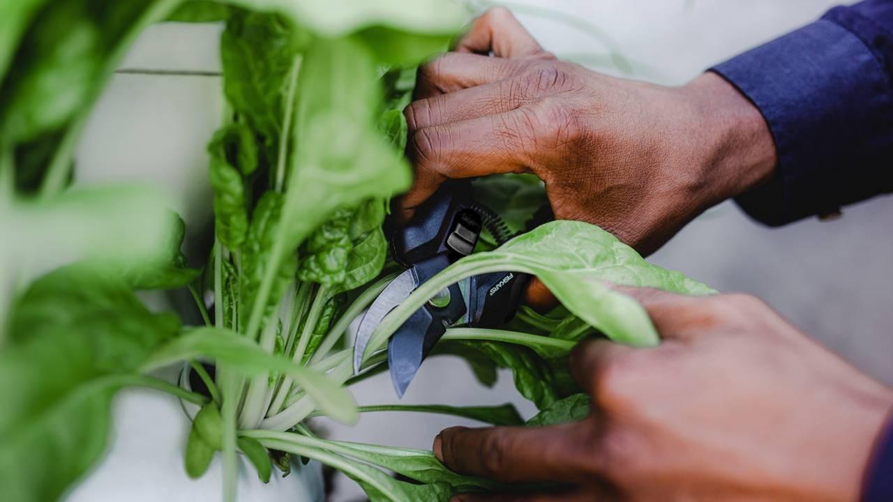 Hands pruning greenery