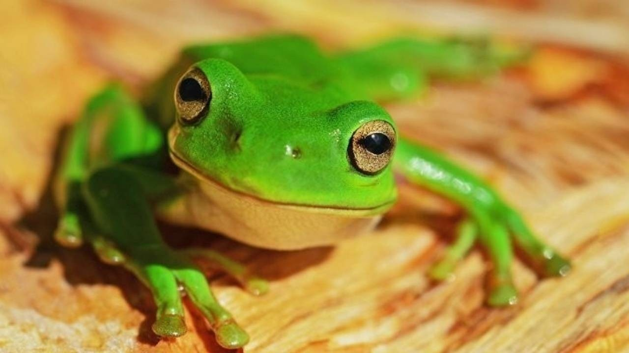 An image of a green tree frog against an orange backdrop
