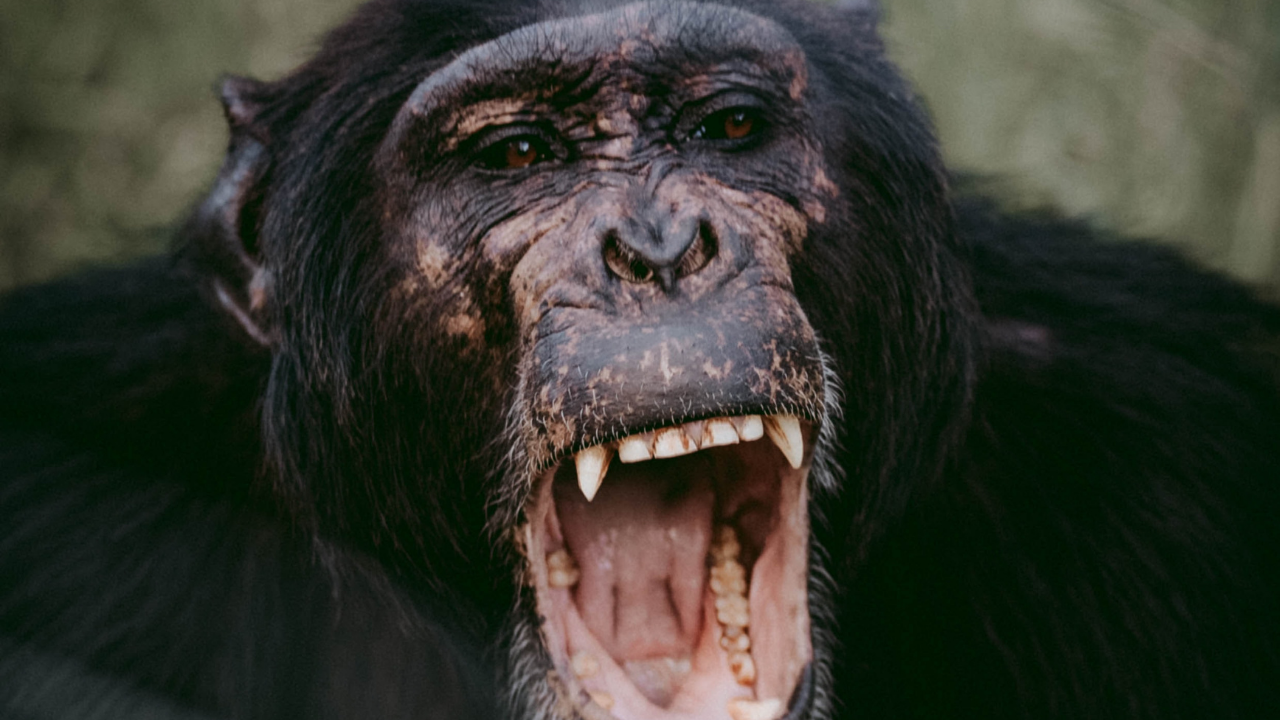 image of yelling ape to support blog post about being your own boss