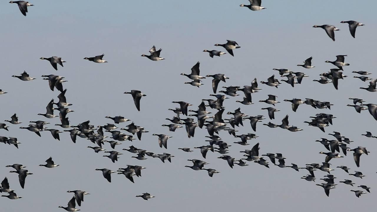 As the Geese Fly: A Contemplation on Life Tempo
