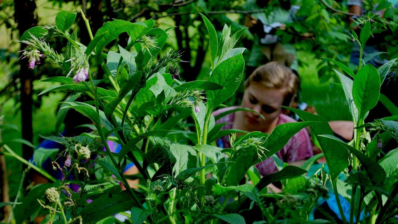 woman in a patch of comfrey for herbal medicine