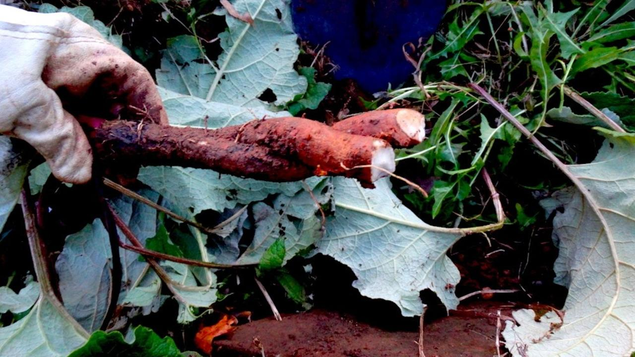 Learn when to harvest burdock root for maximum potency