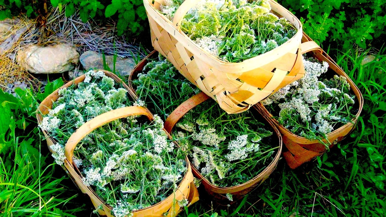 Baskets of medicinal herbs gathered for tinctures and infusions