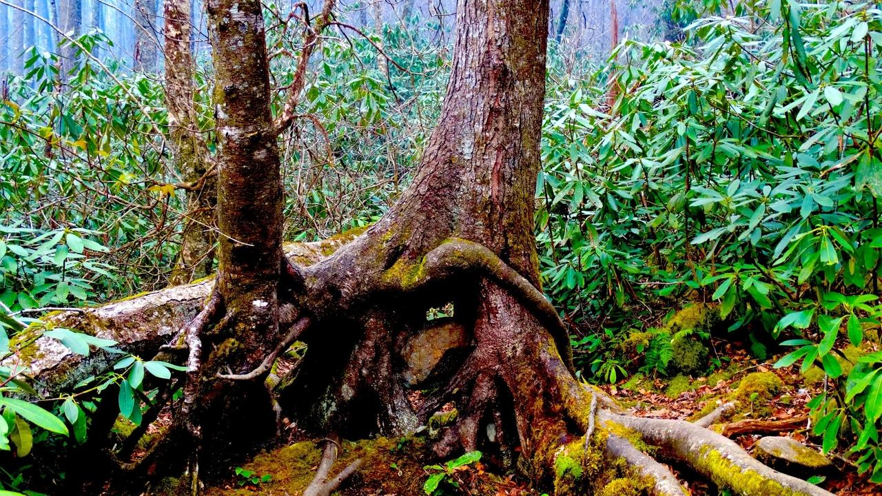 old growth forest near the Smoky Mountain National Park looking for spring wildflowers